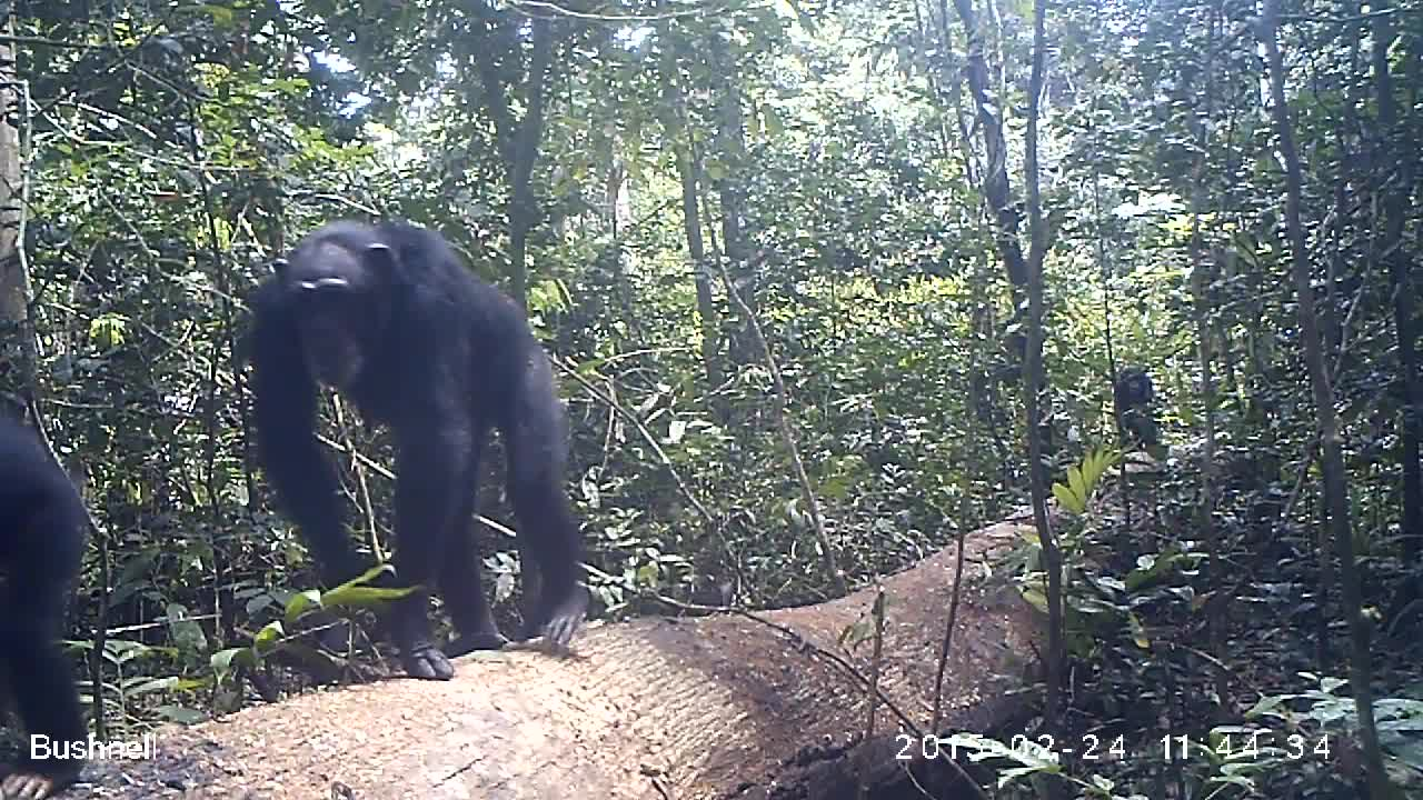 Both walk in a group of 6 or more individuals ( juveniles, females and  infants ), long, dark face, beard, ears point out. Fem08´s right ear has  apparently a ...