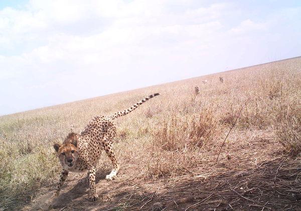 Cheetah reacting to camera