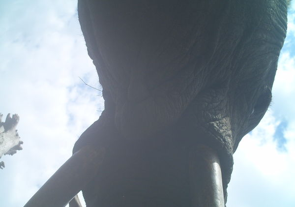 Underside of elephant head and mouth