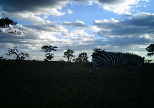 evening sky zebra