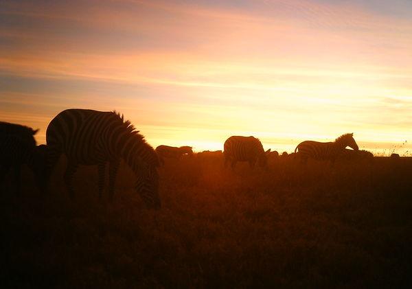 zebra sunset