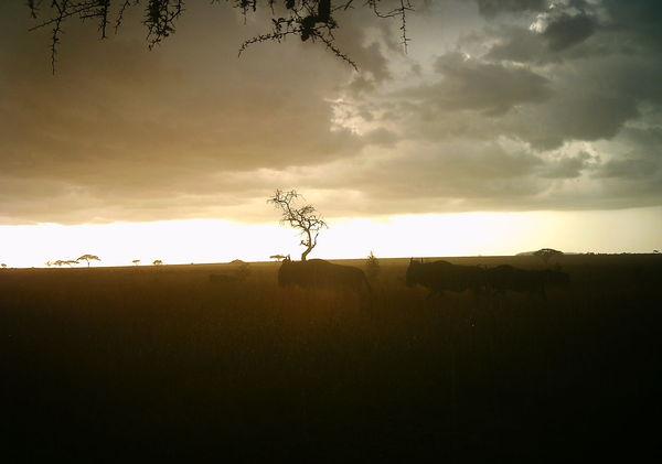 Beautifully atmospheric shot of wildebeest
