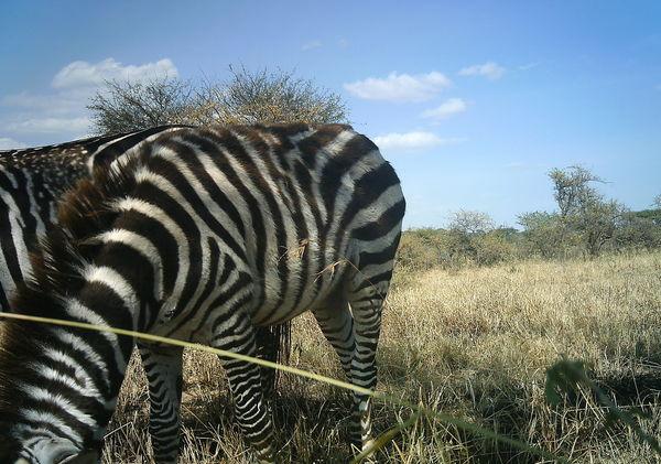 unusual zebra pattern